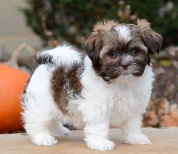 teddy bear puppies for sale