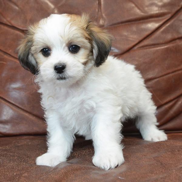 teddy bear puppy breeders
