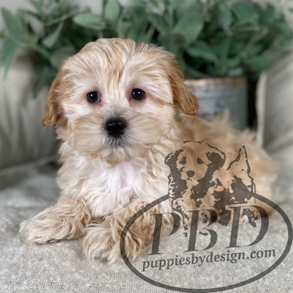 puppies for sale in indiana