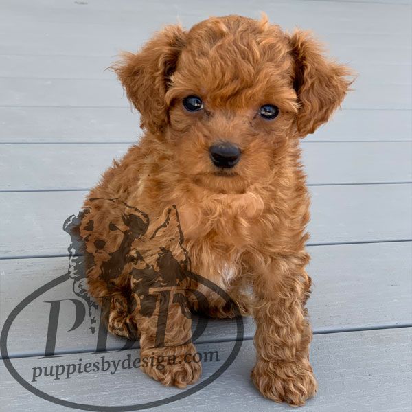 toy poodle puppy breeders indiana